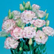 Rosa bordato