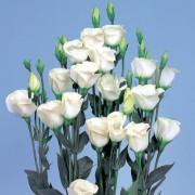 Bianco puro 1