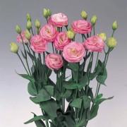 Rosa sfumato