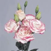 Bianco bordo Rosa