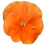 Arancio scuro