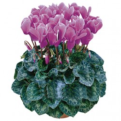 Violet cattleya