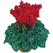 Rouge ecarlate