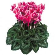Fantasia Fuchsia vif