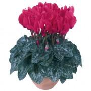 Fuchsia vivo