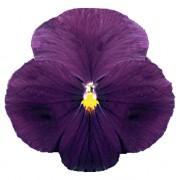Viola brillante con occhio