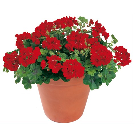 Geranio a edera pelargonium peltatum peggy for Talea edera