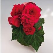 Deep Rose IMP