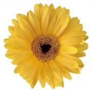 Golden yellow with eye