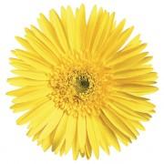 Semi double yellow