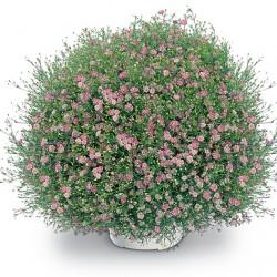 Rosa scuro fiore doppio