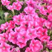 Rosa stellato