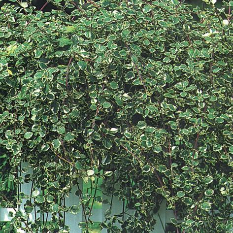 Foglia variegata
