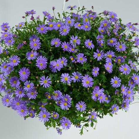 Brasco violet
