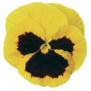 Yellow with blotch