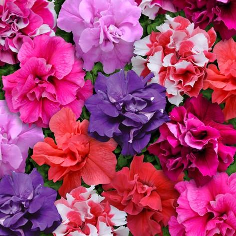 Miscuglio a fiore doppio