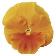 Orange pure
