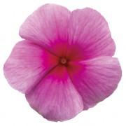 Rosa fragola