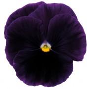 Purple pure