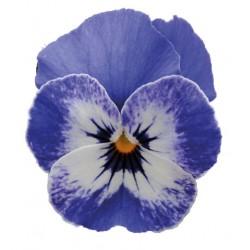 Azzurro e bianco con occhio