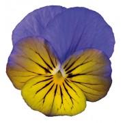 Giallo viola sfumato