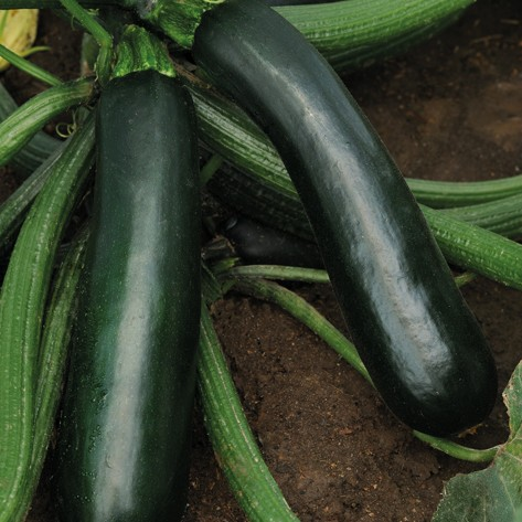 Zucchino Easypick green