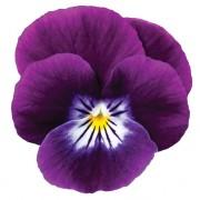 Violetto scuro centro bianco