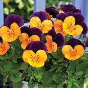 Bicolore arancio burgundy