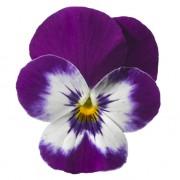 Viola centro bianco