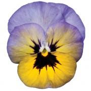 Giallo sfumato viola
