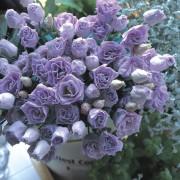 Lavender IMP 4