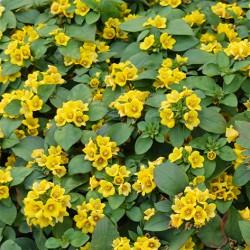 Lissy giallo