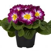 Bicolore viola bianco