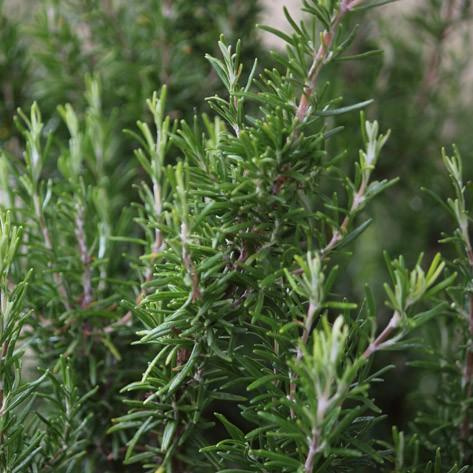Rosmarinus Officinalis da talea