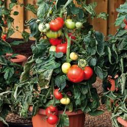 Big League tomato