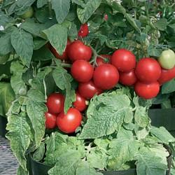 Totem tomato