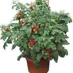 Pomodoro Siderno