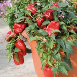Redskin pepper
