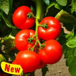 Izmir type tomato