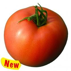 Rosalba tomato