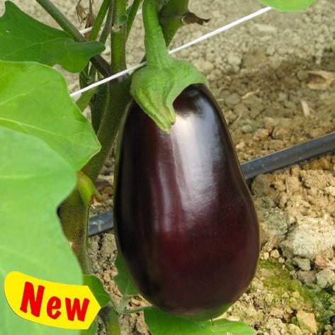 Clelia aubergine