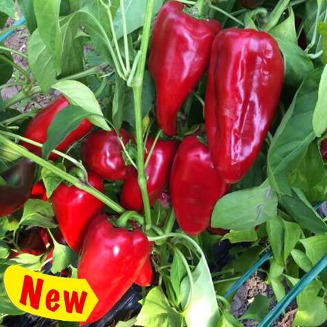 K10414 pepper