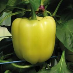 Salana pepper