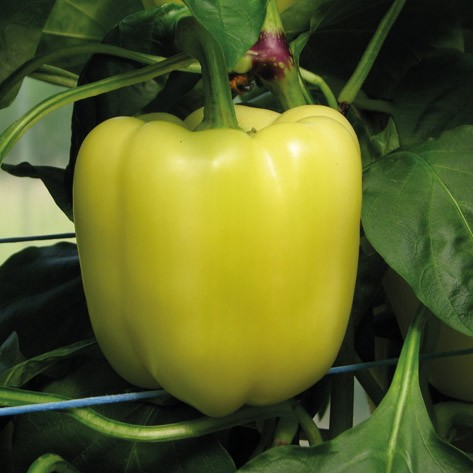 Peperone Salana