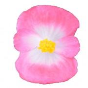 Rose bicolour