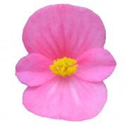 Rose GP