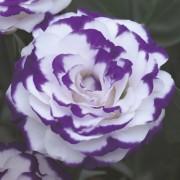 Blue picotee 3
