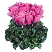 Fuchsia clair
