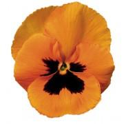 arancio con occhio