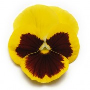 giallo con occhio